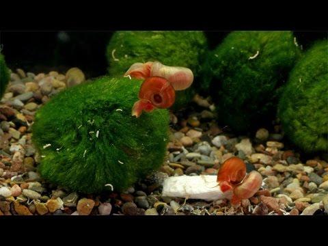 Posthornschnecken / Ramshorn Snails