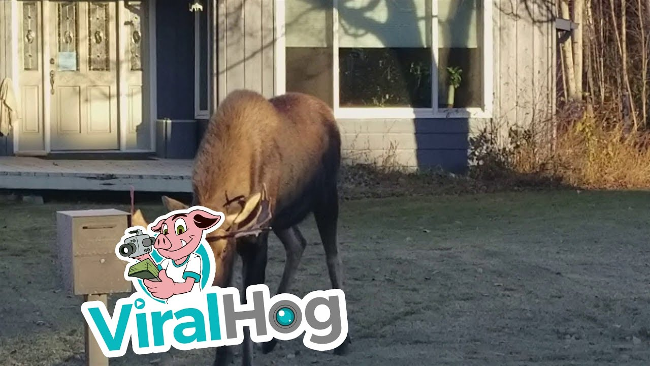 Funny Video: Moose Attacks Car In Driveway
