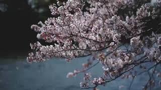 Sakura Drops 2020