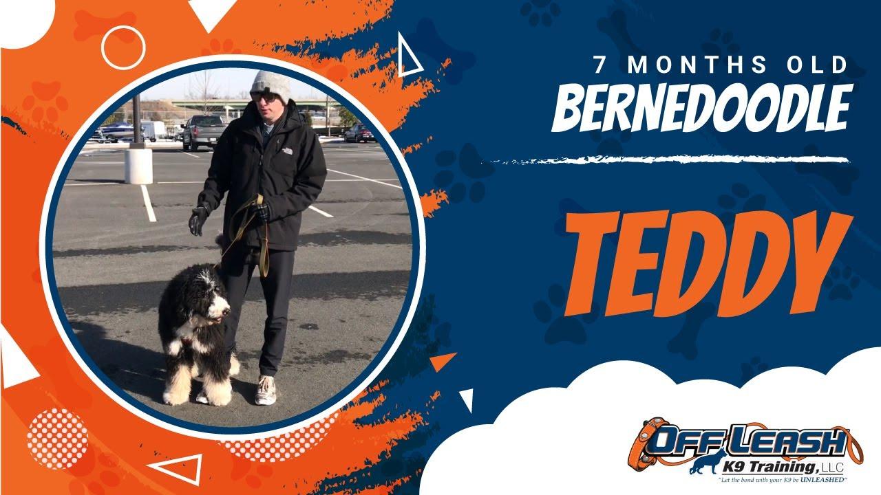 Teddy | 7mo Bernedoodle | Obedience | Off Leash | Dog Trainer | NOVA