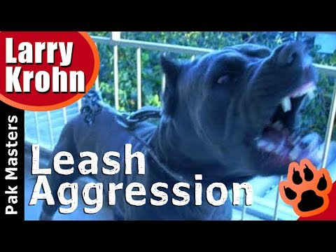 E Collar Training for Stopping  Leash Aggression with Two Cane Corsos