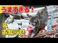 【猫】はじめてのちゅーるにフガフガが止まらない子猫たまとお知らせ:6日目【kitten】