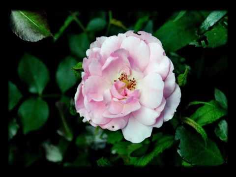 Rose Garden - Beautiful roses ( Inspirational slideshow )