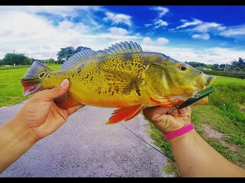Miami Canal Fishing ( Peacock bass & Multi species )