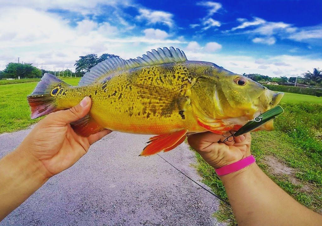Miami canal fishing peacock bass multi species youtube for Peacock bass fishing miami
