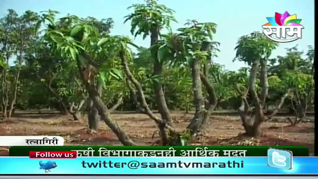 about mango tree in marathi language Information on mango in marathi languageentation, marathi in marathi mango information, info about mango tree in marathi language, mango tree detail.