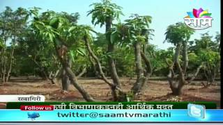 Proning mango trees - A successful story of Ratnagiri farmer Rajendra Nimbkar