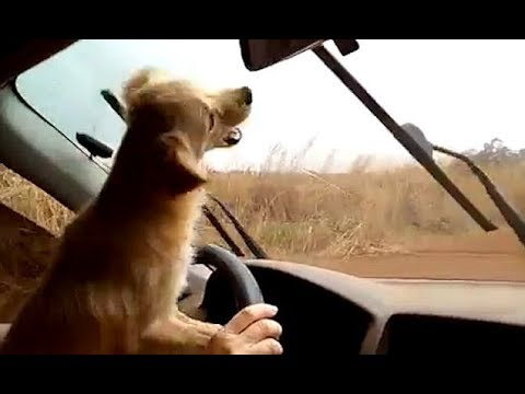 Little Dog Becomes Obsessed With Car Windscreen Wipers Youtube