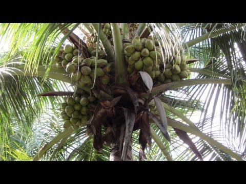 Sprinkler Irrigation for Coconut Farms with Inter Crops  - Thumba Agro Technologies, Palani