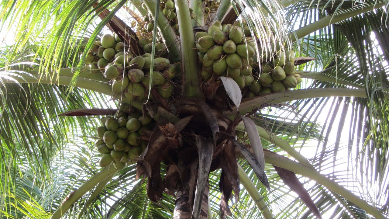 Sprinkler Irrigation For Coconut Farms With Inter Crops