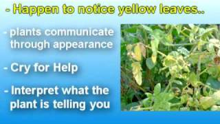 Yellow Leaves on Tomato Plants...What to Do