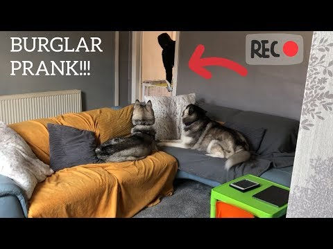 Huskies Reaction To Burglar Prank! [WE USED SOMEONE THE DOGS DID NOT KNOW!!!]