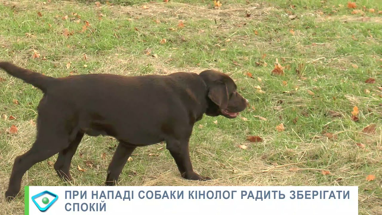 Харків'янку загризли мастифи: кінолог припустив, що могло спровокувати агресію собак - YouTube