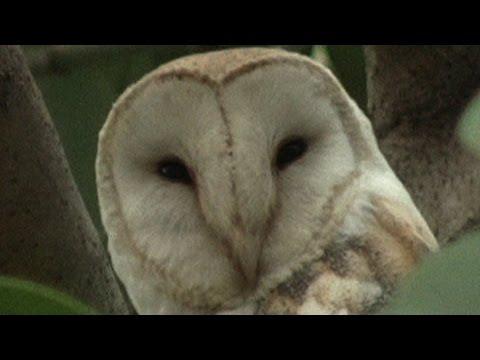 Oahu, Hawaii: Barn Owl - Up Close and Personal at Hoopili