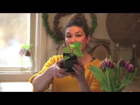 Hemma hos Jessica v 5 Maskkompost skensådd tomatodling på tomatpålar och förberedelser