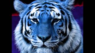 blue maltese tiger