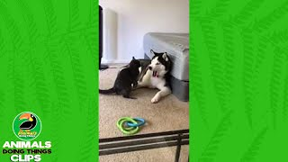 Cat and Husky Playfighting | Animals Doing Things Clips