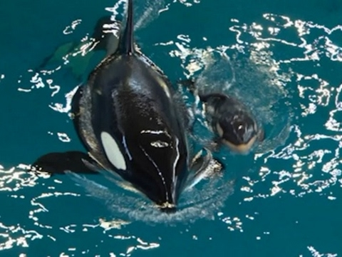 Orca Gives Birth at SeaWorld San Antonio