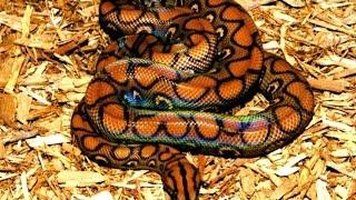 Дикая природа Австралия Радужный змей A Luna Sea For The National Geographic