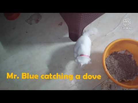 Three month old turkish van kitten catching bird