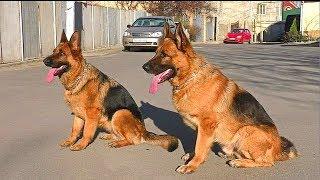 Послушные Немецкие Овчарки. Obedient to German Shepherd.  Одесса.