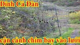 Lưới bẫy chim lưới tàng hình cận cảnh dính cả đàn chim cu quá đã.