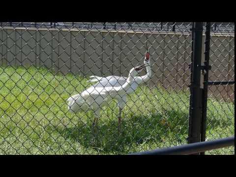 Siberian Cranes calling