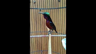 Gambar cover Kolibri Ninja Gacor Ocehan Si Master Kicau