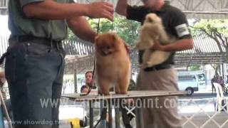 Show Dog Pomeranian - Blue Point Poms - Price Brenesul