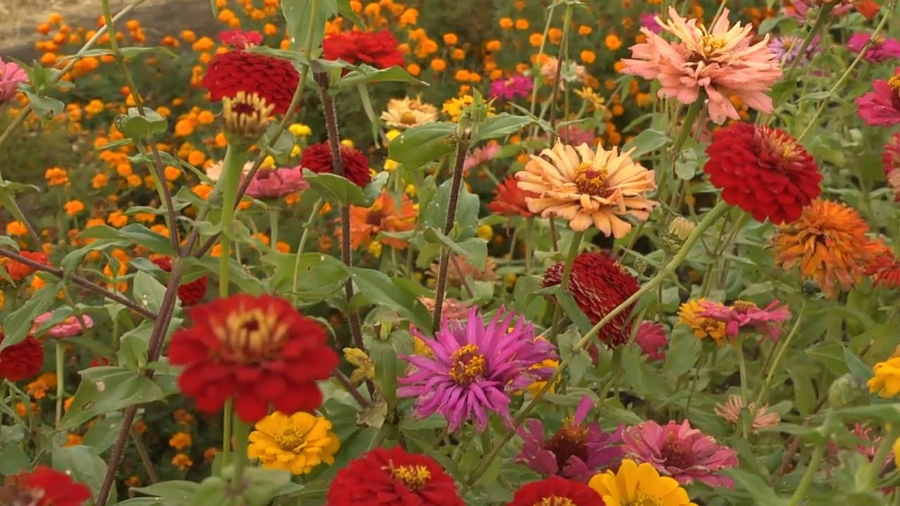 Growing Zinnias | At Home With P. Allen Smith - YouTube on sunflower garden bed, petunia garden bed, sweet pea garden bed, zinnia mix flower bed,