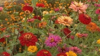 Growing Zinnias | At Home With P. Allen Smith