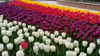 Городские цветы Шымкента