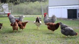 Chickens playin in the yard