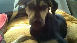Bailey Dog Head Shaking - Idiopathic Head Tremors?