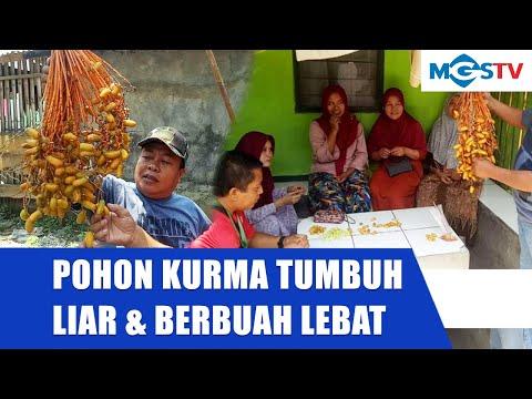 pohon-kurma-berbuah-lebat-di-citeureup