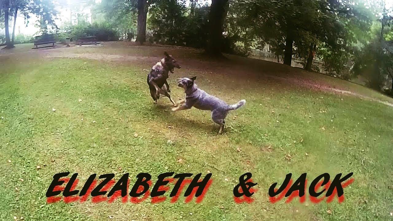 Elizabeth (German Shepherd) & Jack (Australian Cattle Dog) Play in park