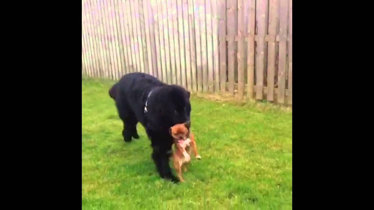 Newfoundland Puppy Dog Carries Smaller Puppy Dog In Mouth Youtube