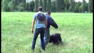 Кане корсо Хард и черный терьер Арт VS Крав Мага