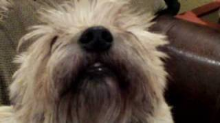 Cairn Terrier's Playing