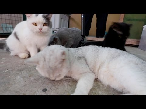 LOTS OF CUTE, CUDDLY, FUZZY SCOTTISH FOLD CATS!