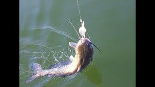 Como Pescar Bagres de Rio