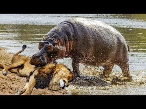БЕГЕМОТ против ЛЬВА, носорога, крокодила и даже акулы!
