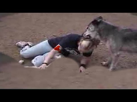 Wolf attacks the wolf whisperer!!!