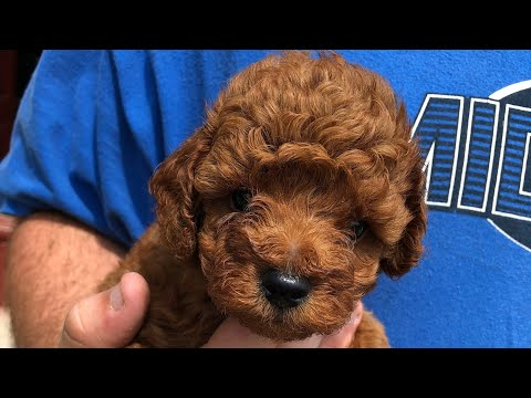Toy Poodle Facts - Toy Poodle Information - Toy Poodles For Sale - Red Toy Poodle Breeder