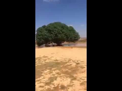 1400 year old Treee in Saudi Arabia