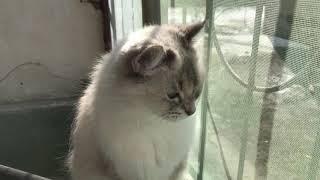 Настоящая Сибирская кошка на балконе (весна)