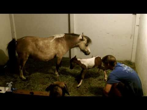Live Birth Of A Cute Miniature Horse