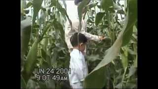 20010624大湖採玉米