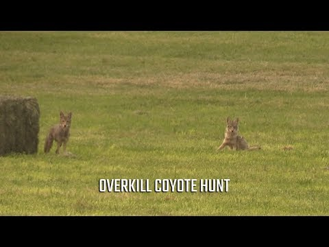 Large Caliber Coyote Hunt DOUBLE KILL!