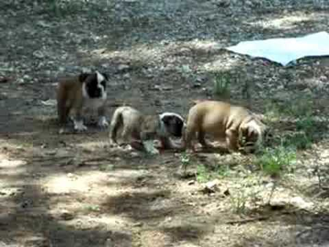 english-bulldog-puppies-for-sale